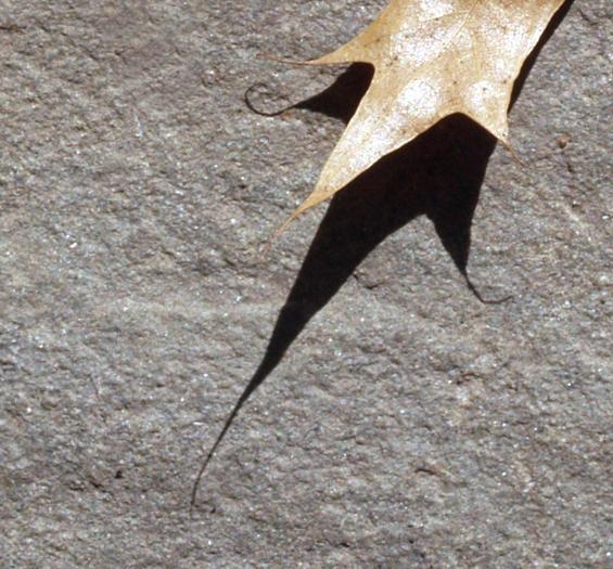 Curling oak leaf 2