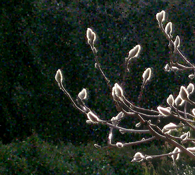 Magnolia-buds