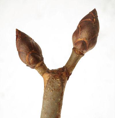 Horse Chestnut buds dry brush