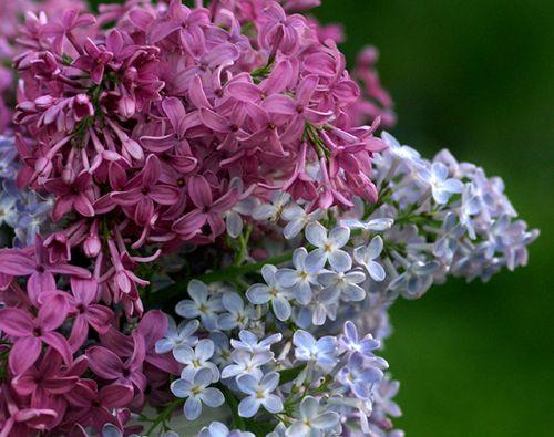Birthday lilacs close