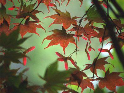 Japanese maple in June