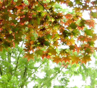 Japanese maple leaves in June altered