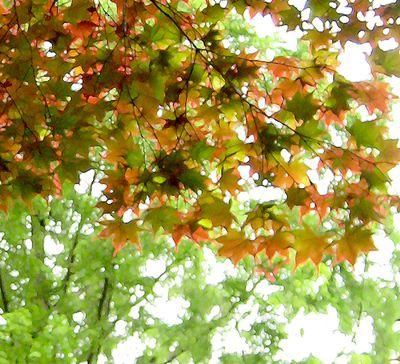Japanese maple leaves in June altered
