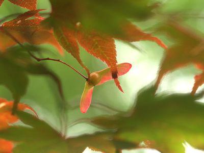 Japanese maple leaves in June 2