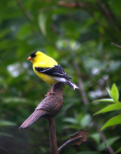 Goldfinch on rusted bird