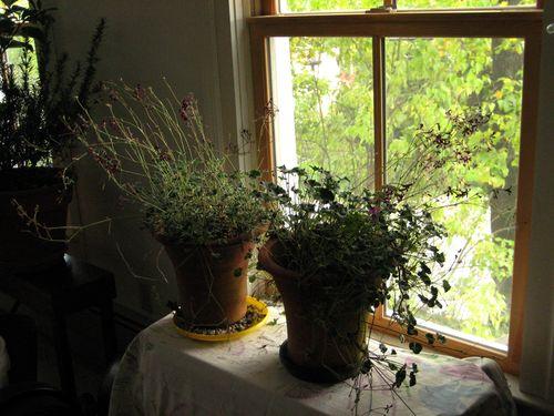 Pelargonium sidoedes