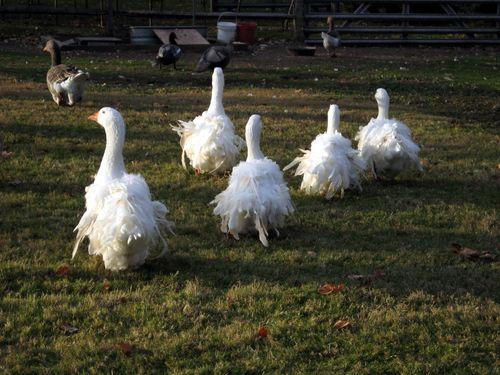 Sebastopol geese 3