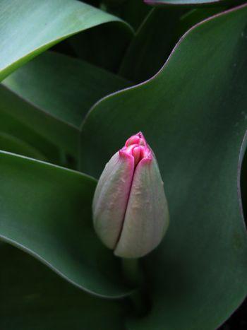 Tulip pucker
