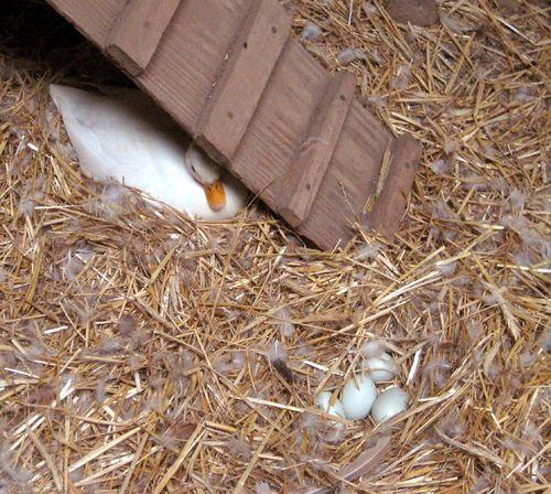 Call duck on nest