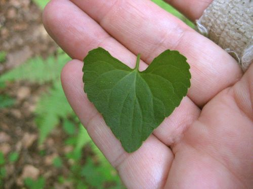 Viola leaf