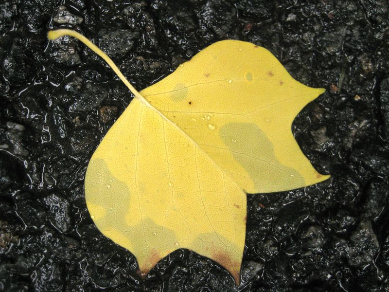 Tulip poplar leaf on asphalt