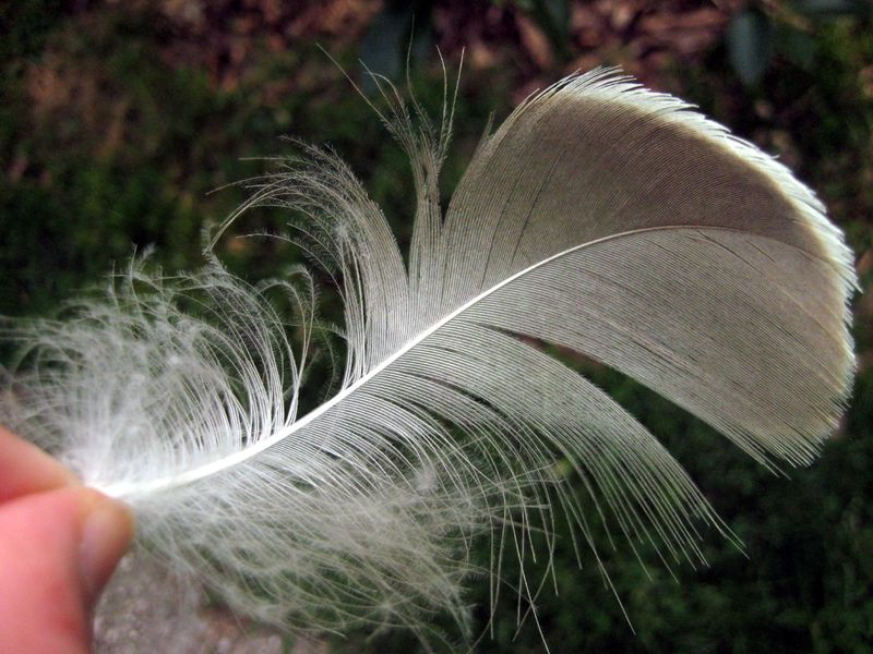 Goose feather