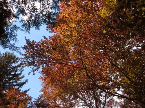 Why it's called a copper beech