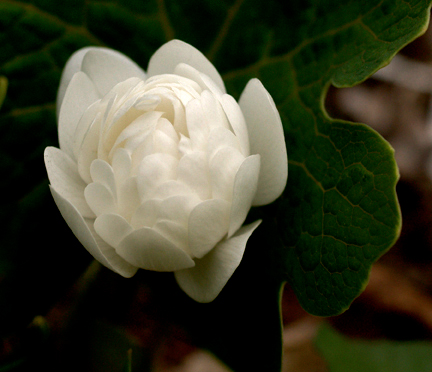 Double flowered bloodroot 2