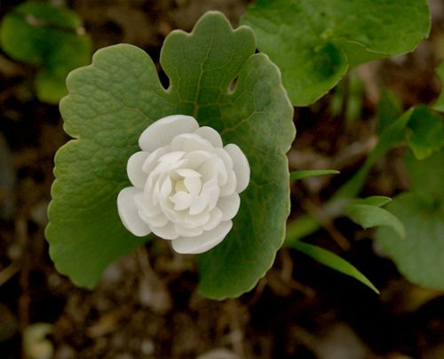 Double flowered bloodroot