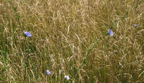 Chicory in grass