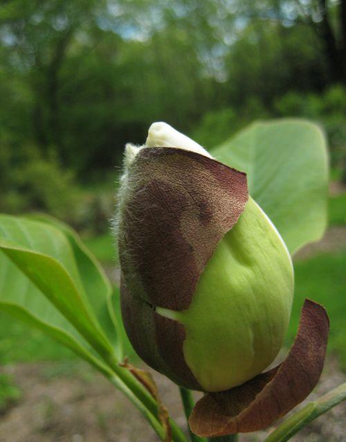 Magnolia x wieseneri bud