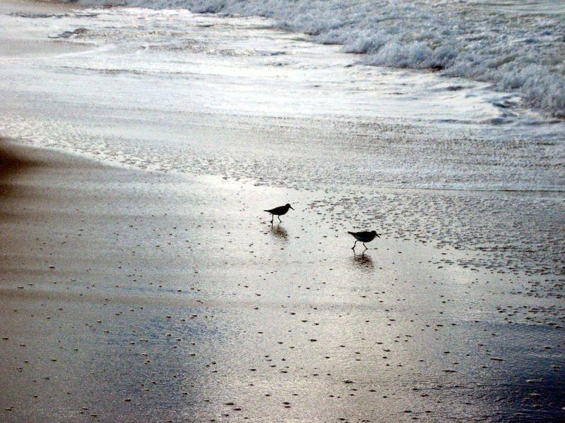 Sanderlings2