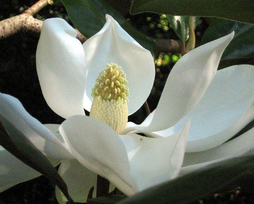 Grandiflora 4