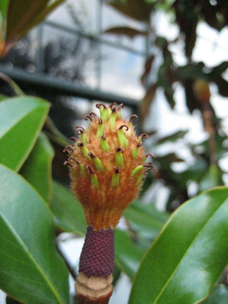 Magnolia seed head