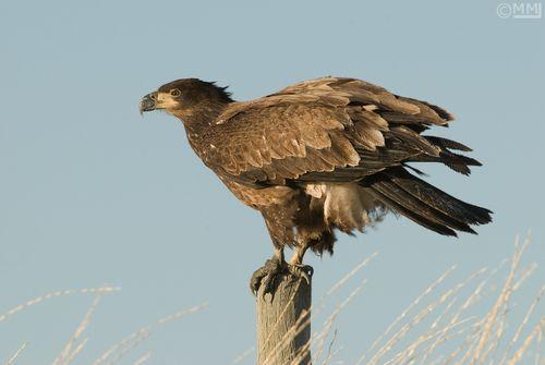 Bald-eagle-one-year-old-juvenile-mia-mcpherson-5363