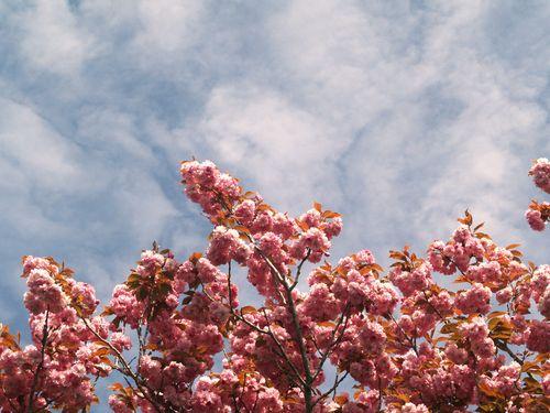 Cherry treesky