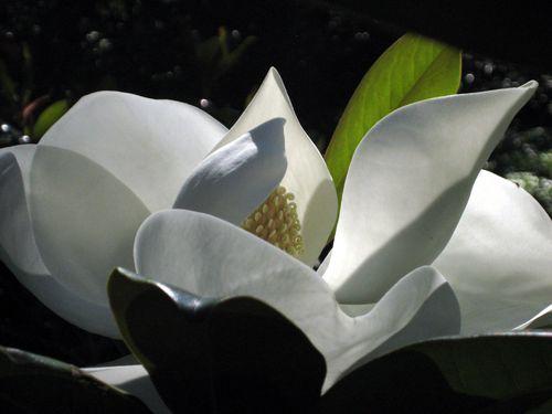 Grandiflora 5