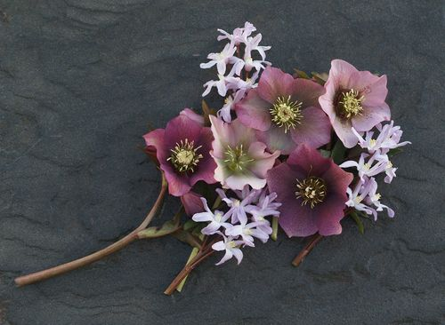 Hellebore and glories