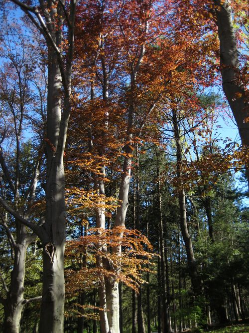 Copper beech 9