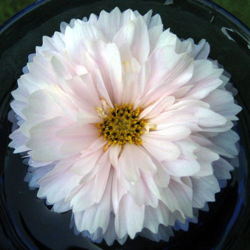 Snow puff cosmos in August