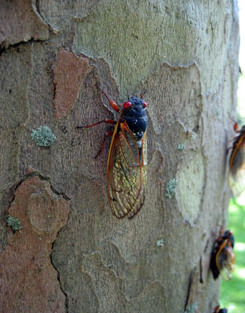 On sycamore trunk