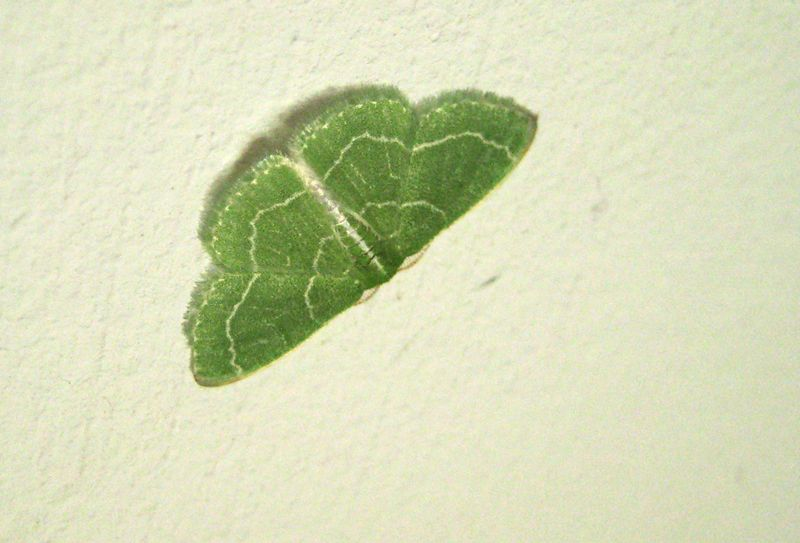 Green moth w