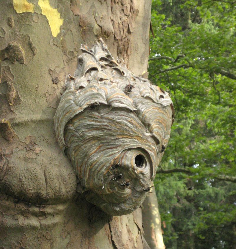 Bald faced wasp nest