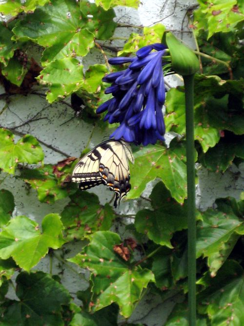 Butterfly on agapanthus Elaine
