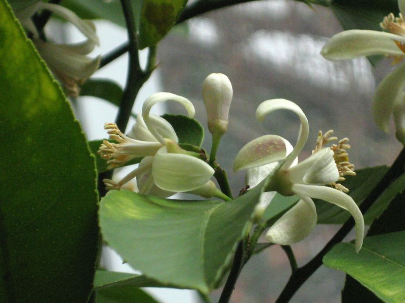 Lemon flowers close