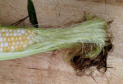 Corn with silk BLOG