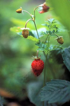 Strawberry72