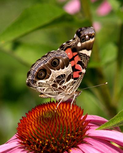 Butterfly_american_lady_2