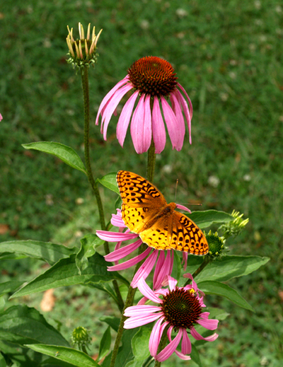 Butterfly_on_coneflower