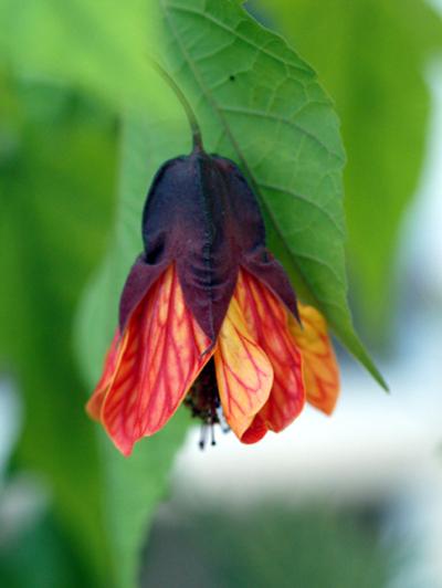 Abutilon_flower