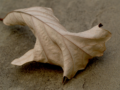 Oak_leaf_curl_2
