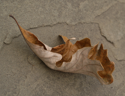 Oak_leaf_on_slate