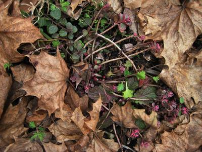 Sedum_veronica_leaves_2