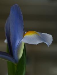 Dutch_iris_5