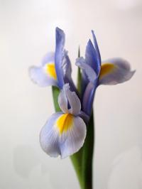 Dutch_iris_72