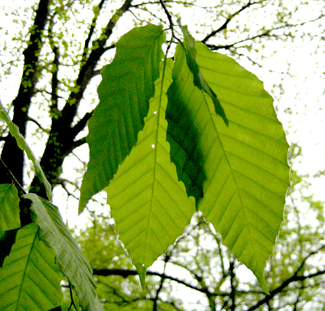 Light_through_leaves