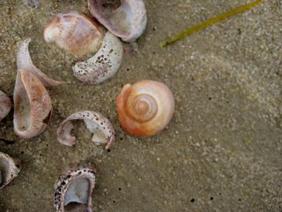 Moon_snail