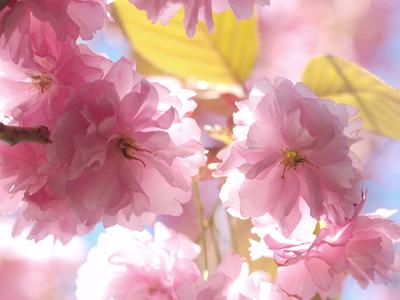 Kates_cherry_tree