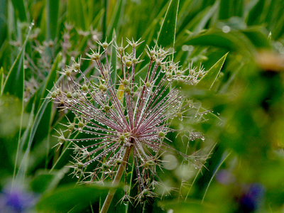 Allium_seed_head_after_the_rain