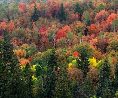 Aspen_grove_trees
